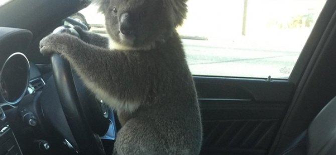 Avustralya'da Koala, Önce Zincirlemeye Kazaya Neden Oldu Sonra Direksiyonda Poz Verdi