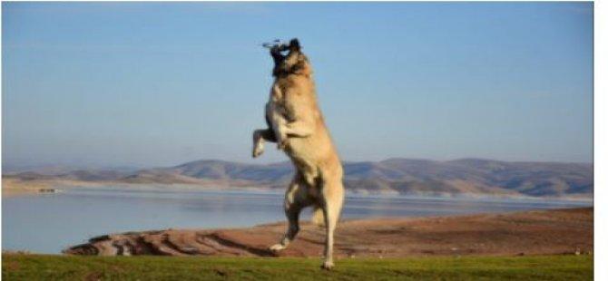 Koyun sürüsünü görüntüleyen dronu kangal havada kaptı