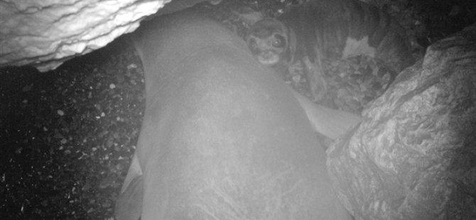 Akdeniz Fokunun Daha Önce Bilinmeyen Üreme Alanı Kuzey Kıbrıs'ta Keşfedildi