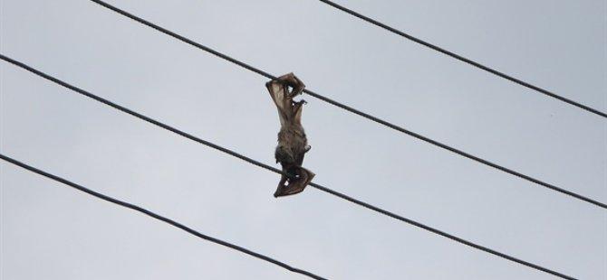 Kuşkor: Varlığı Tehlike Altındaki Yarasalar Elektrik Hattı Kurbanı..