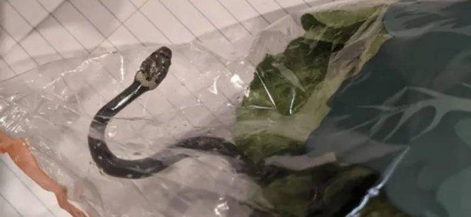 Süpermarketten aldıkları marulun içinden yılan çıktı