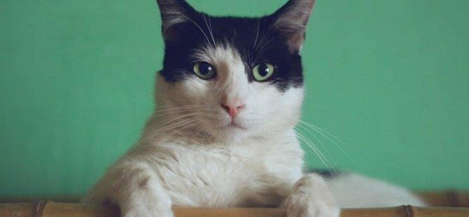 'Corona' nedeniyle ilk kez bir kedi 'uyutuldu'