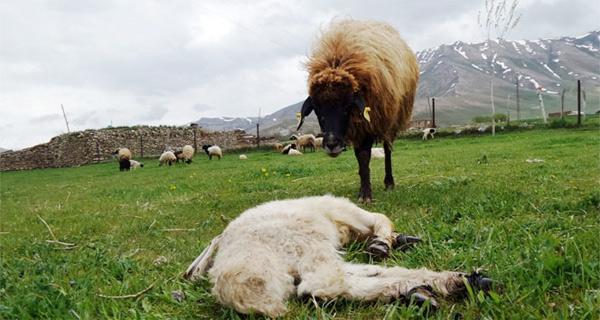 Yavrusu ölen anne koyun bakın ne yaptı!