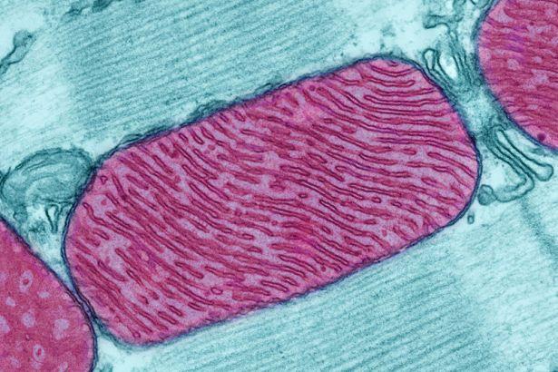 Bilim insanları mitokondrisi olmayan mikroorganizma keşfetti