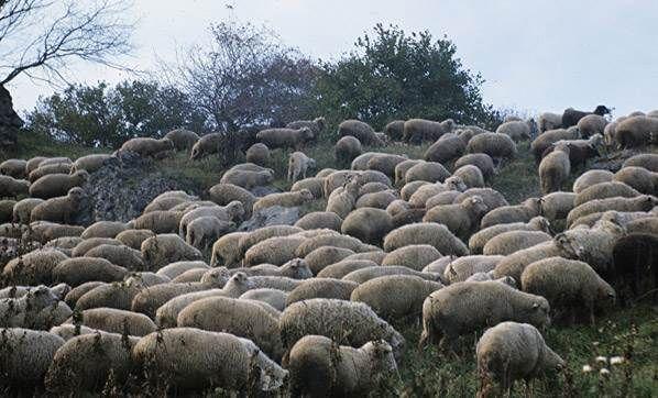Esrar yiyen koyunlar köyü birbirine kattı