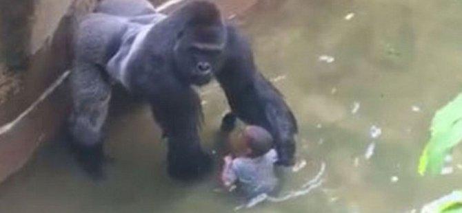 Goril Harambe'nin öldürülmesi yargıya taşınıyor!