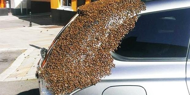 Kraliçe arı arabada sıkışınca arılar seferber oldu!