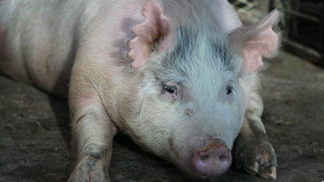 Uzmanlar domuzlarda insan organı geliştirmeyi deniyor