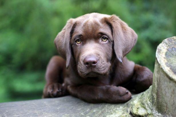 Köpeklerin evrimi hakkında yeni ipuçlarına ulaşıldı