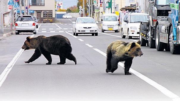 Japonya'da ayı paniği