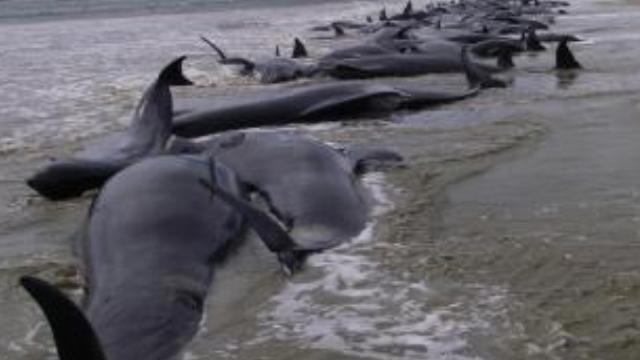 Endonezya'da 32 balina karaya vurdu!