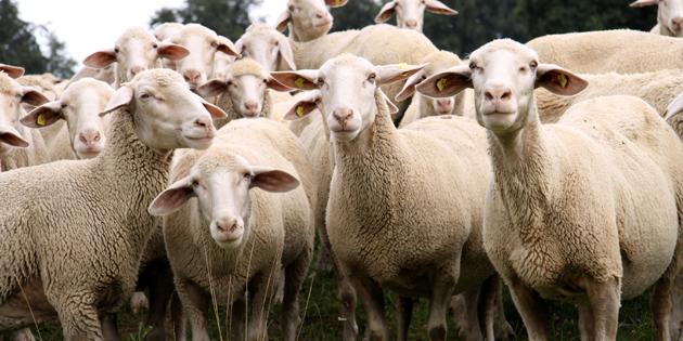 Küçükbaş hayvan üreticilerinin beyan süresi 30 Haziran'da doluyor