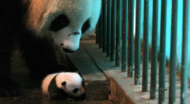 Çin'de ikiz panda sevinci