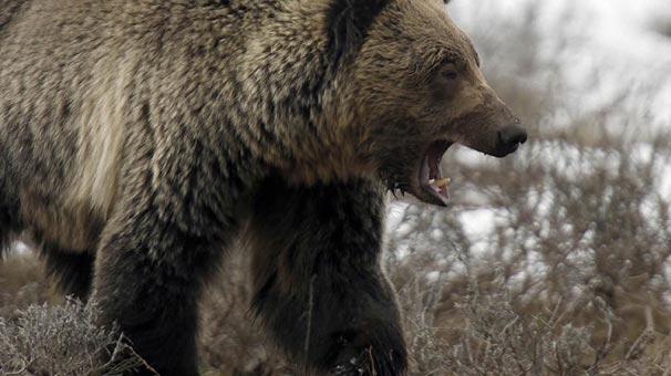 Ormanda doğurmak zorunda kalan kadına ayılara karşı polis çemberi