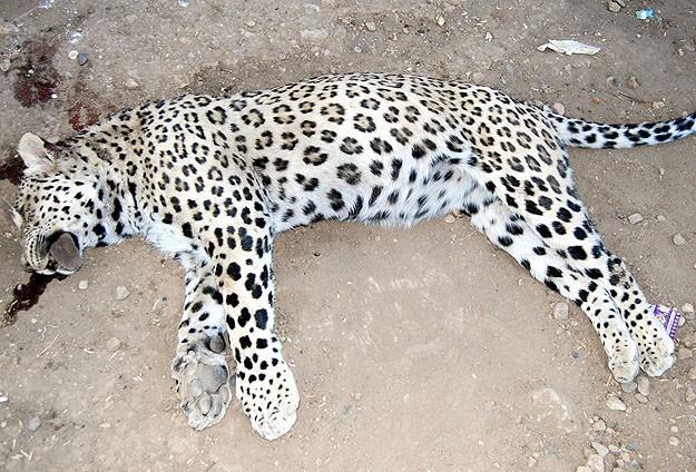 Diyarbakır'da öldürülen leopar için suç duyurusu