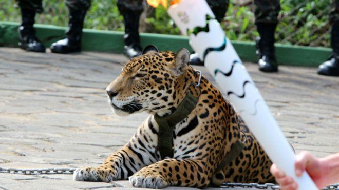 Bir vahşet daha: Olimpiyat etkinliğinde kullanılan jaguar öldürüldü