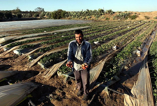 Gazze'de şiddetli yağış çilek tarlalarını da vurdu