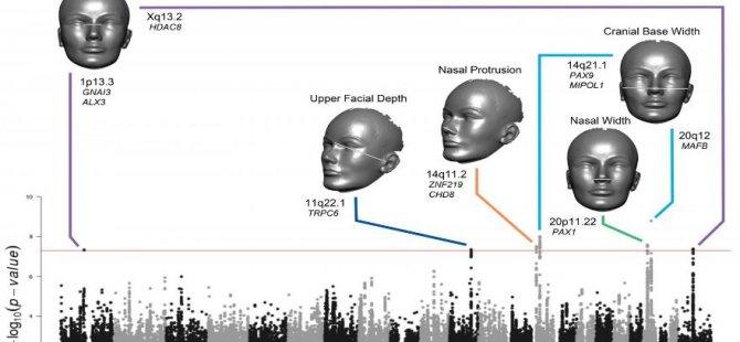 İnsanların yüzlerinin nasıl bir şekile sahip olacağını genleri belirliyor