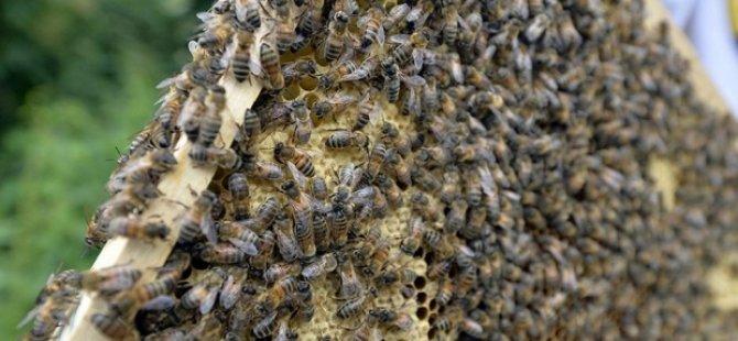 Zika ile mücadele arıların hayatına mal oldu
