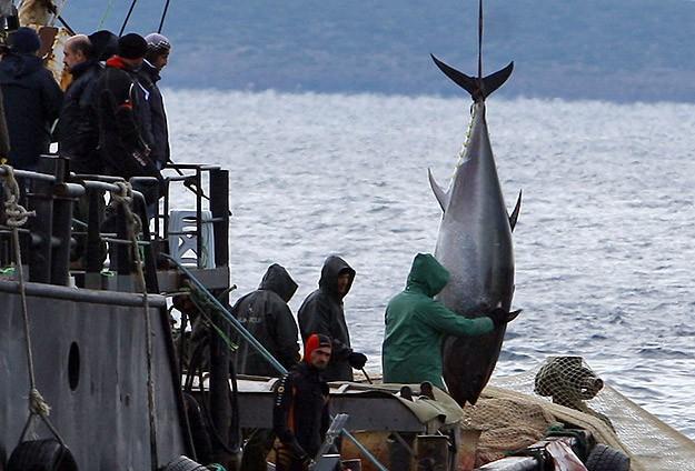 Balıkçının ağına 100'er kilogramlık üç orkinos takıldı