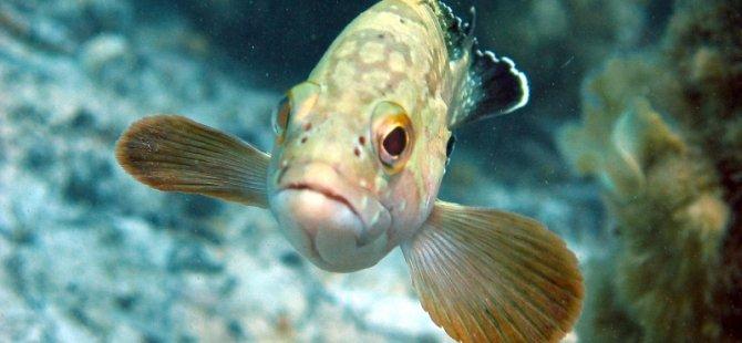 """Biyologlar Derneği: """"Orfoz ve Lagos avı yasaklanmalı"""""""