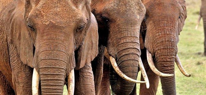 Fil avı yeniden mi başlayacak?