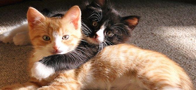 Kediler dünyaya nasıl yayıldı?