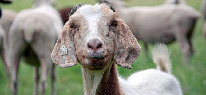"""""""Mavi Dil"""" hastalığı 138 hayvanın canına kıydı!"""