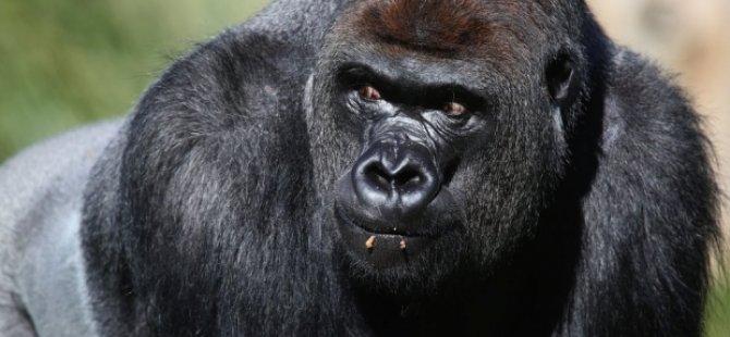 Londra Hayvanat Bahçesi'nde kaçak goril paniği