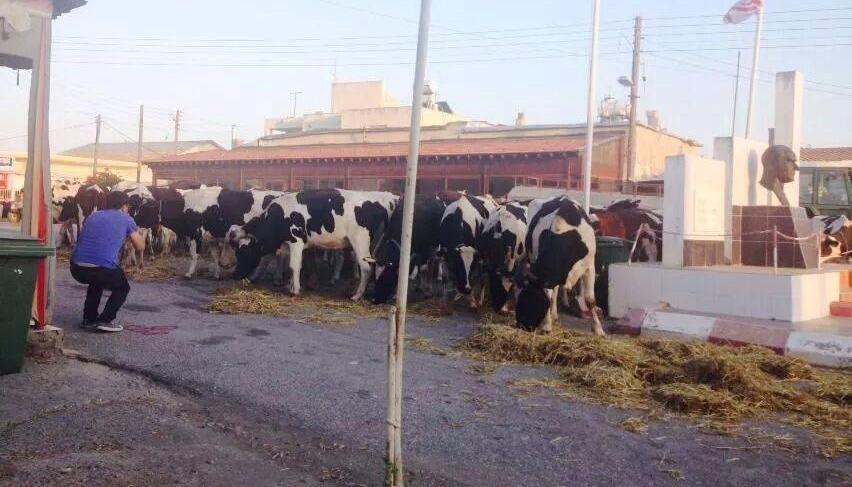 Köyü inekler bastı