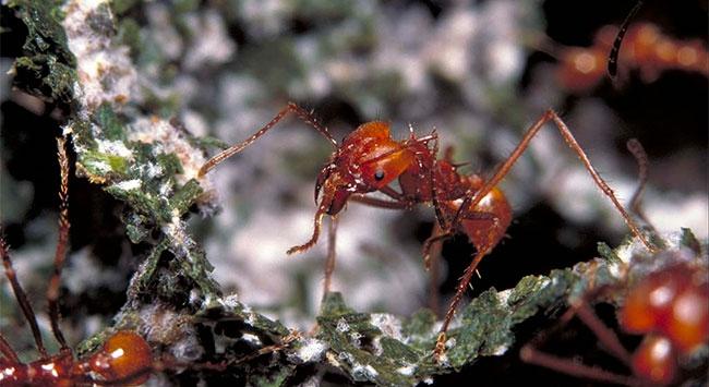 Karıncalar penisilini çoktan kullanmaya başlamış