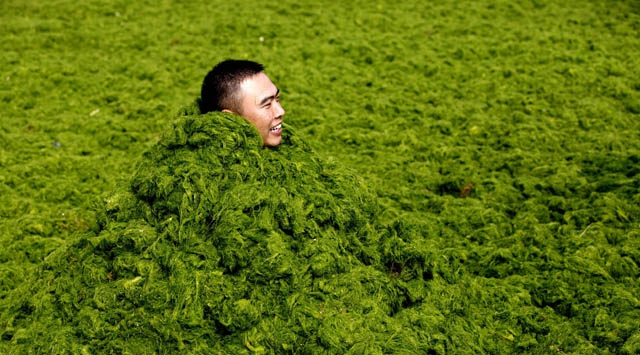 Çin'de yosun istilası!