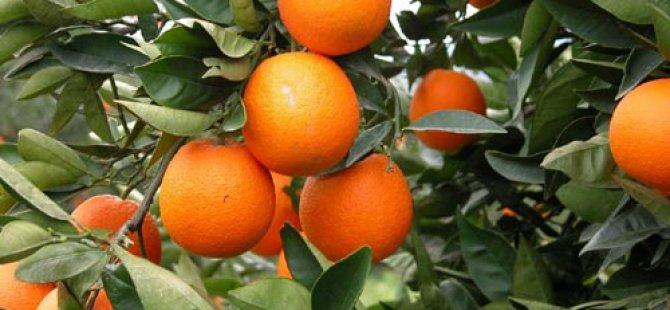 Narenciye üreticileri turunçgillerde gübrelemeyi konuşacak