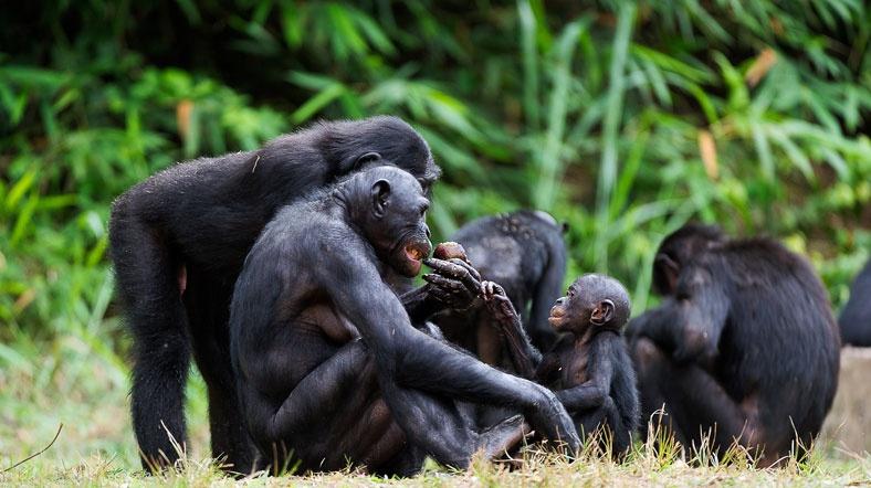Şempanze ve insan 'doğuştan cani'