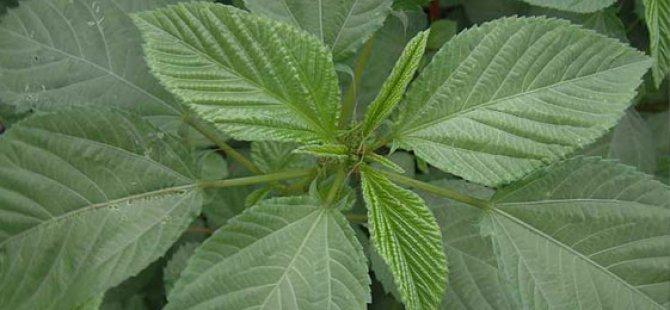Yaprağı yenen sebzeler için ilaç listesi güncellendi