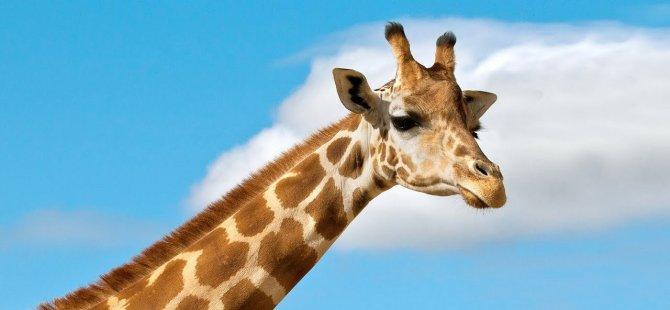 Zürafalara baba şefkatiyle bakıyor