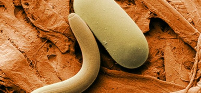 Donmuş yuvarlak solucanlar on binlerce yıl sonra tekrar canlandı