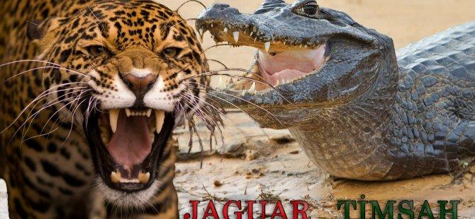 Timsah ve jaguarın nehirde tutuştuğu kavga görüntülendi (video)