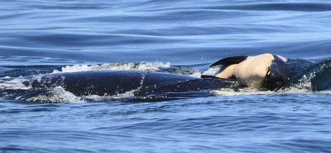 Yas tutan balina 16 gündür ölen yavrusunu taşıyor