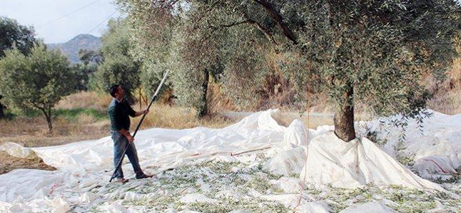 Güzelyurt ilçesi zeytin ve harup hasadı tarihleri açıklandı