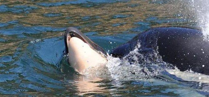 Anne balina yasına son verdi: Ölen yavrusunu 17 gündür sırtında taşıyordu