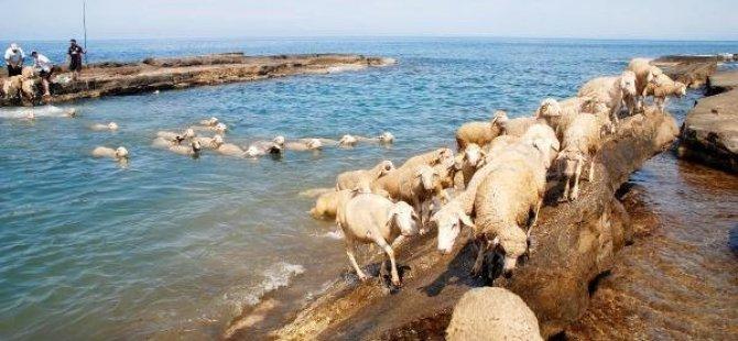 Muhtar bile koyunları denizde yıkarsa ?