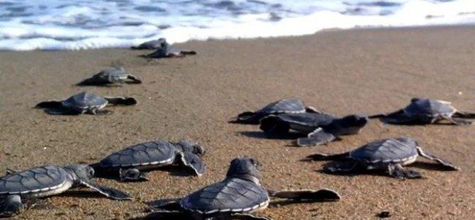 İskele Kalecik'te sahile Carettalar yumurtladı