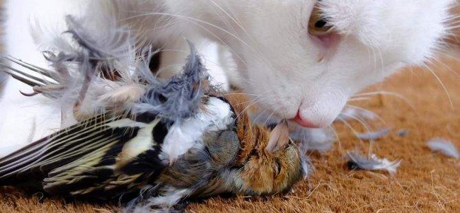 Yeni Zelanda  evcil kedileri  yasaklamayı planlıyor