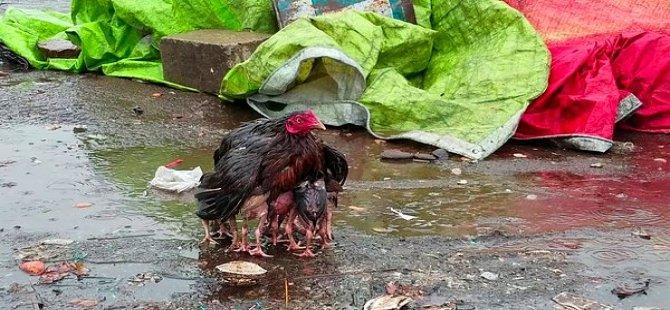 Yavrularını yağmurdan korurken görüntülenen tavuk medyada gündem oldu