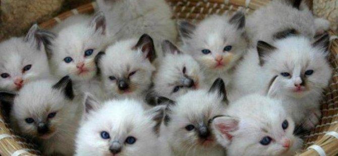 ABD Tarım Bakanlığına, denek olarak kullanılan binlerce kedi için dava