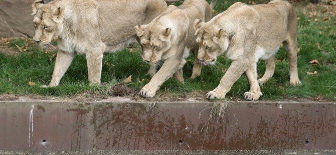 Dişi aslanlar isyan çıkardı, sürü lideri ölümden döndü (video)