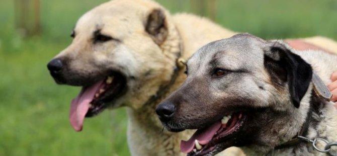 İtalya'da kurt saldırılarına karşı Sivas Kangal alımı çağrısı
