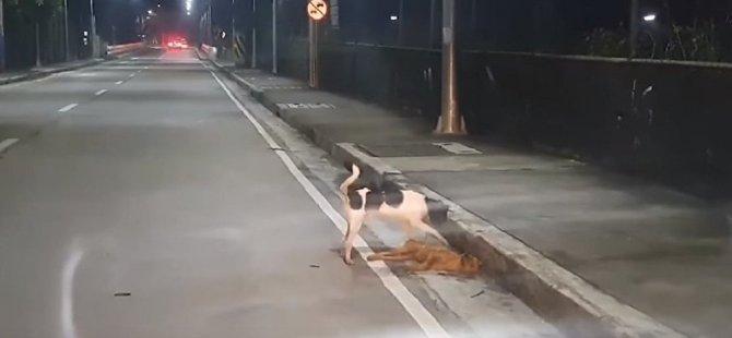 Filipinler'de bir köpeğin ölen bir başka köpeği uyandırma çabaları yürek burktu