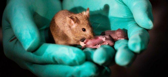 Çin'deki araştırmada iki anneli fare yavruları dünyaya getirildi